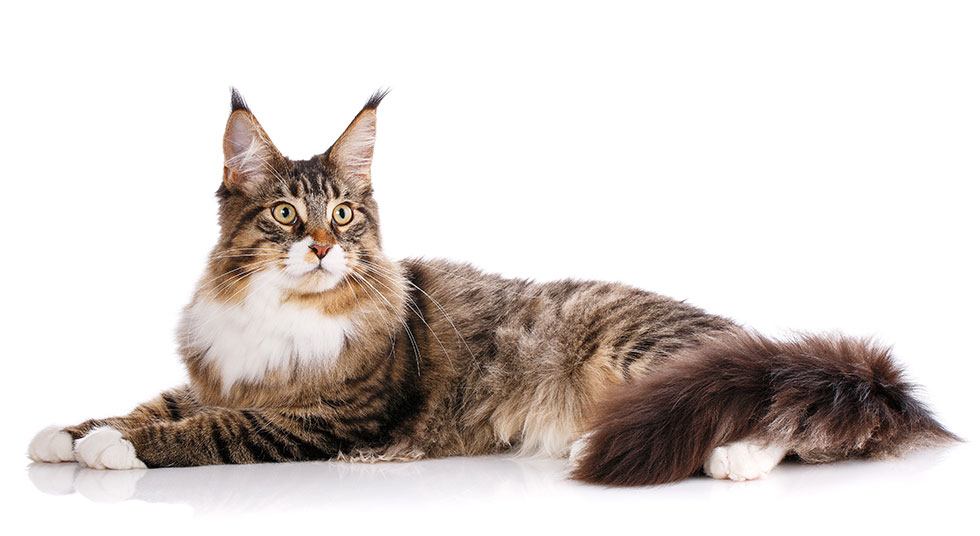 Maine Coon Pets Training And Boarding